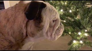 reuben-the-bulldog-the-christmas-tree-decision