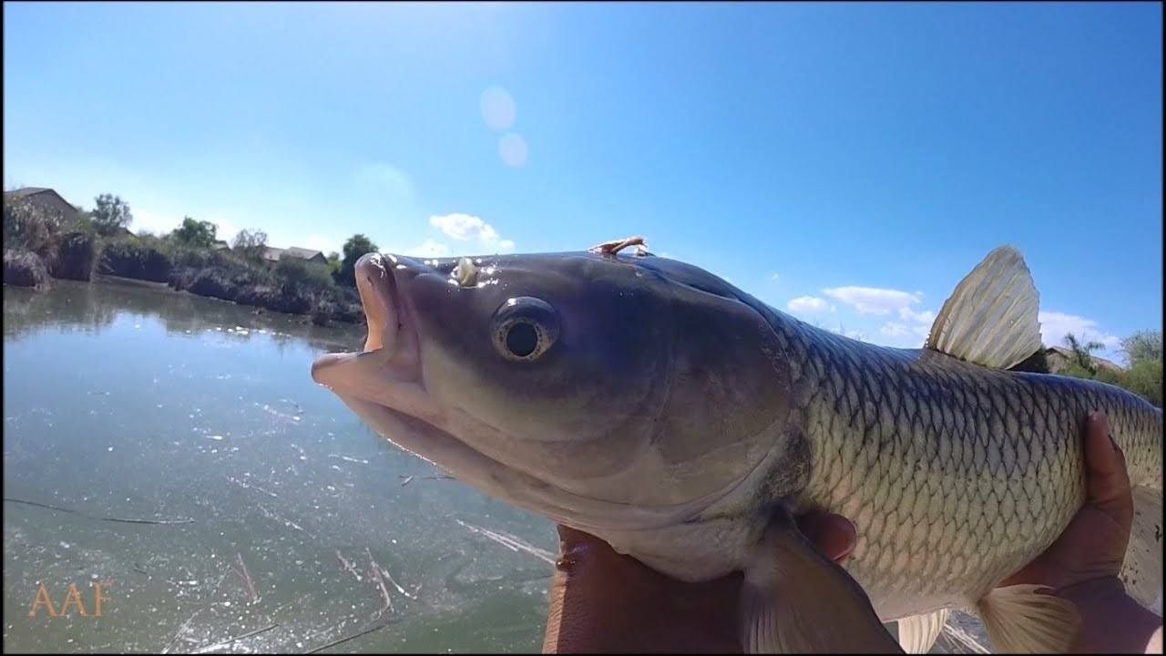 Arizona white amur fly fishing youtube for White amur fish