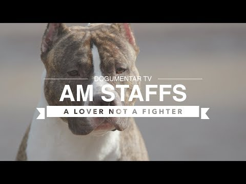 ALL ABOUT AMERICAN STAFFORDSHIRE TERRIERS
