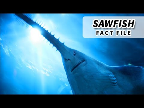 Sawfish Facts: Sawing Their Way Through The Oceans | Animal Fact Files
