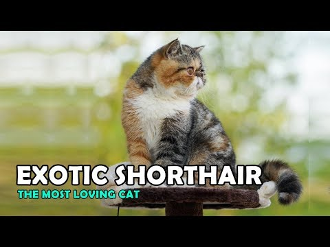 Exotic Shorthair - The most loving cat breed