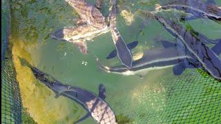 Du lịch,và khám phá, tìm hiểu cách người ta nuôi cá trên biển  tập  (3)