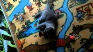 Котенок по имени БАТОН порода британская кошка!!!