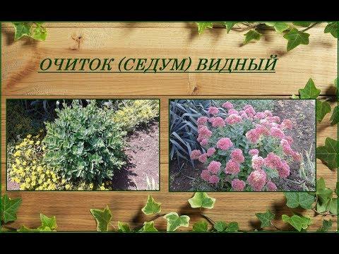Очиток или седум видный - одно из самых приметных осенних растений