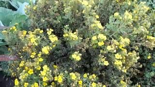 видео Курильский кустарниковый чай. Посадка и уход