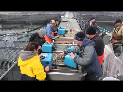 Squaxin Island Tribe coho survival study