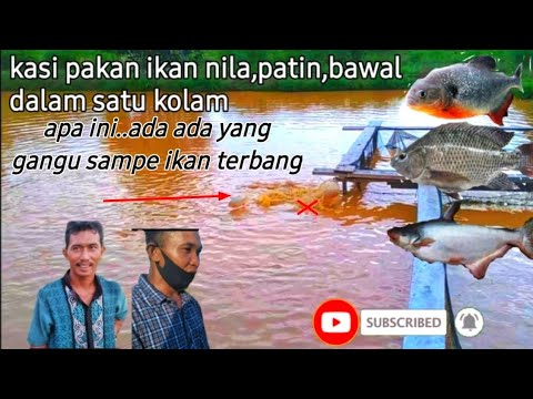 Kaget Kasi Makan Ikan Bawal Ikan Patin Dan Ikan Nila Di Kolam Youtube