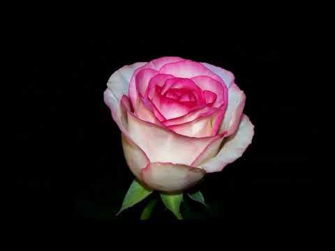 #Чайно-гибридные #розы каталог1 #Питомник Антипова