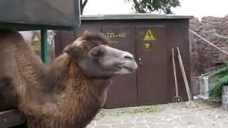 Северный Кавказ.Зоопарк Пятигорск Алёнка кормит верлюда