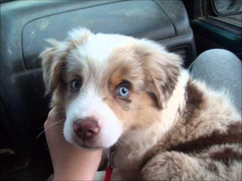 Sky The Australian Shepherd Puppy