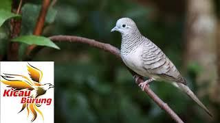 Suara Kicawan Burung Perkutut Lokal