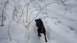 Охота на енота капканами 2019 зима