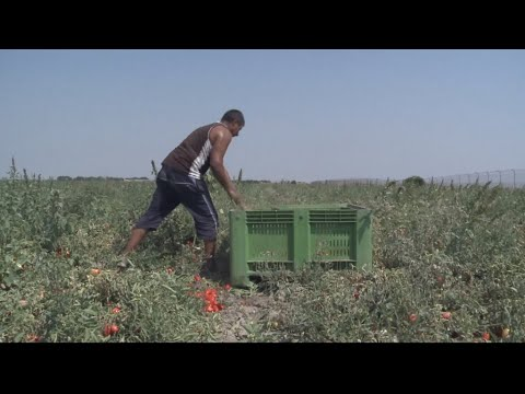 Modern-day slaves: Europe's fruit pickers