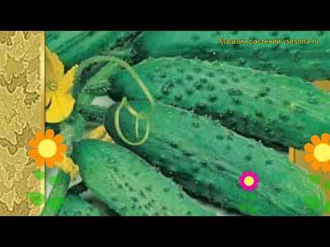 Огурец гибридный Пасамонте f1. Краткий обзор, описание характеристик, где купить семена Pasamonte f1