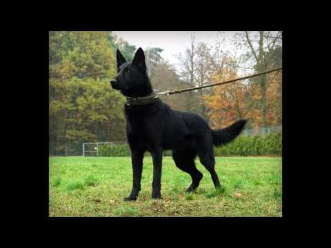 Rocky Belgian Malinois - Detection Inside and Outside