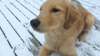 Golden Retriever Puppy Maya's First Snow