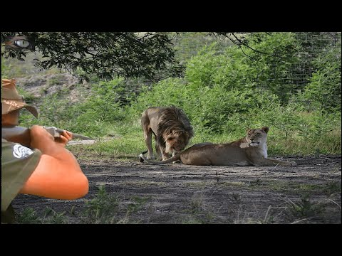 Extreme !! Hunting for the world's most vicious predator lion /Lion Hunting /African Hunting
