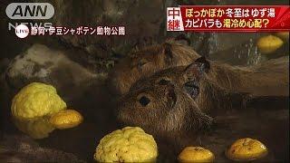 カピバラがうっとりと・・・40度のぽっかぽかのゆず湯に(16/12/21)