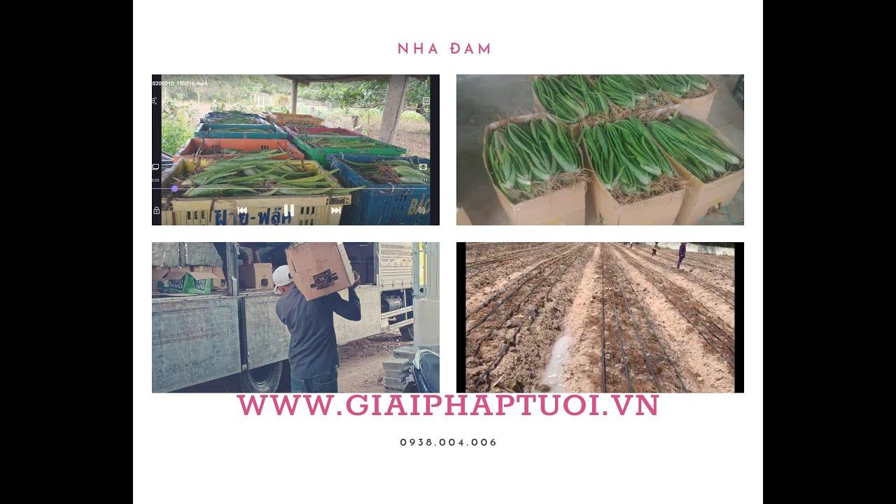 Báo giá cây giống nha đam Thái và hệ thống tưới nhỏ giọt