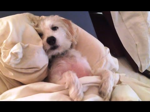 Dogs Who Don't Want to Leave Bed Compilation