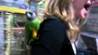 Сенегальский попугай ручные птенцы выкормыши