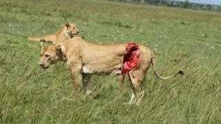 最も激しい戦い!動物の攻撃 - ライオンズ、ライオンズ勝利対バッファロ...