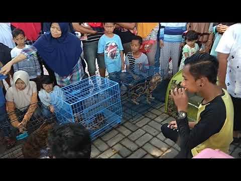 AYO Lihat Lucunya Kucing Maine Coon Lokal di CFD Bondowoso