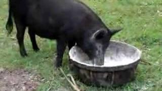Hog Like Dough (martha White)  ....funny
