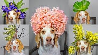 Maymo Dog Balances 50+ Flowers & Plants on Head