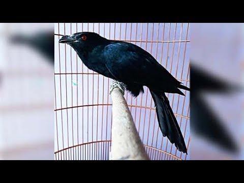 Tuwu atau Ulik Gacor Burung Penuh Mitos