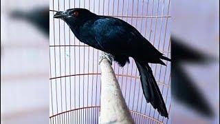 Gambar cover Tuwu atau Ulik Gacor Burung Penuh Mitos