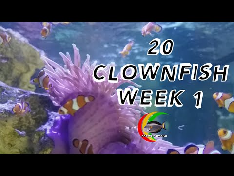 Harem of 20 Clownfish in a 200 Galllon Mixed Reef Aquarium aka The EX Wife