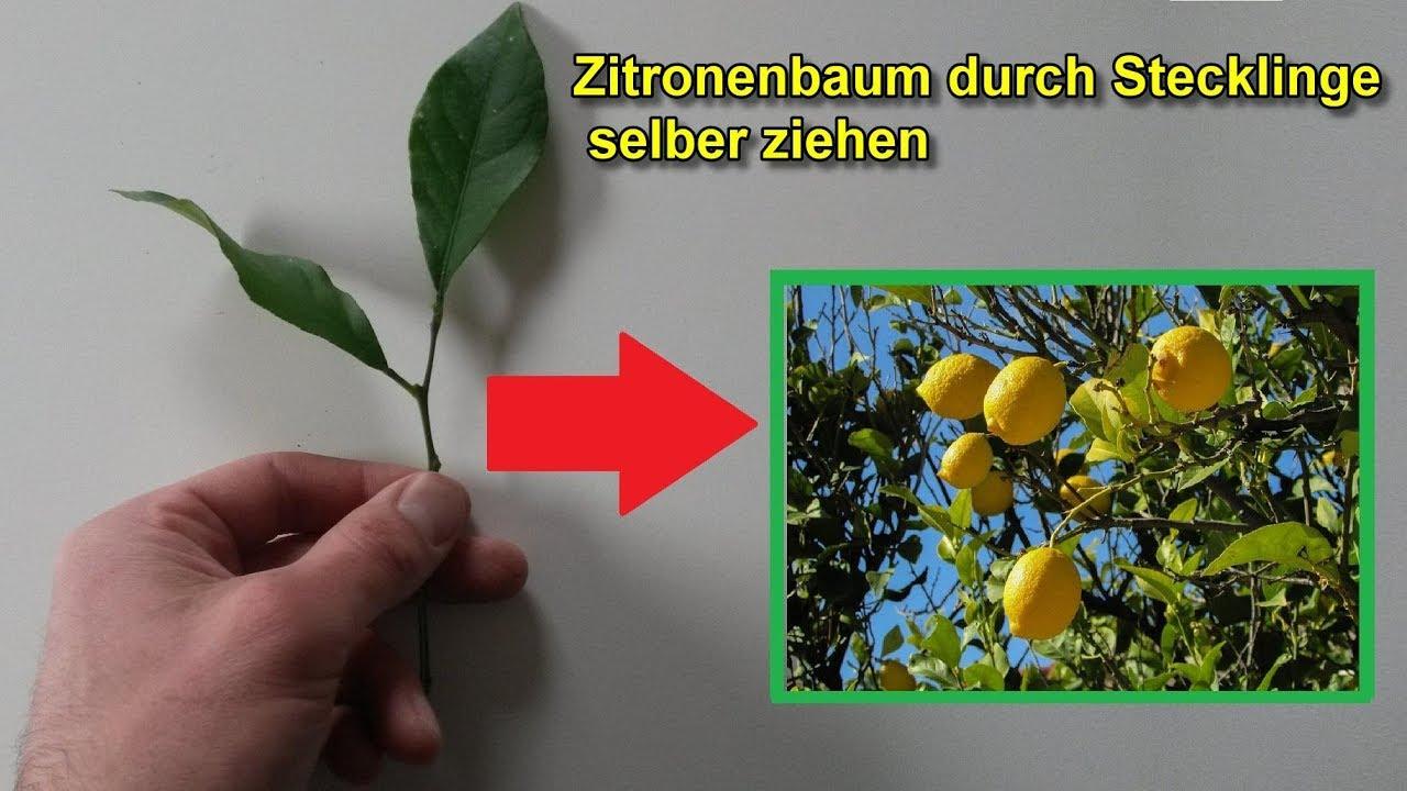 zitronenbaum durch stecklinge vermehren selber ziehen zitruspflanze stecklingsvermehrung
