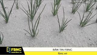 FBNC - Lâm Đồng: Hành lá trúng giá, hành tây tăng giá