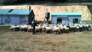 2種類の牧羊犬、ハンタウェイと ストロングアイヘディングドッグ ハンタ...
