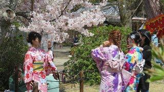 2019年 京都の春 祇園 八坂神社 円山公園の桜