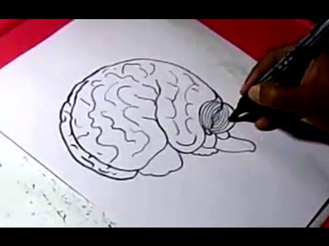How To Human Brain Drawing For Kids Step By Step Youtube