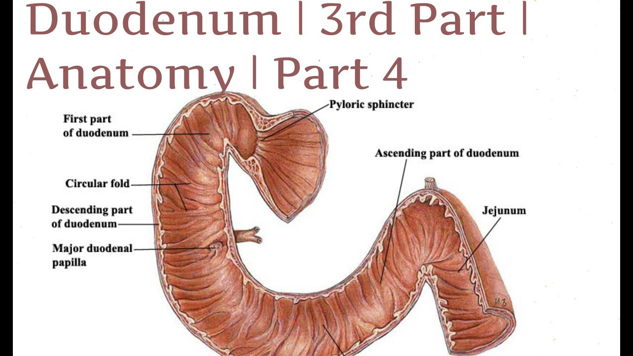 where is the human duodenum - 1280×720