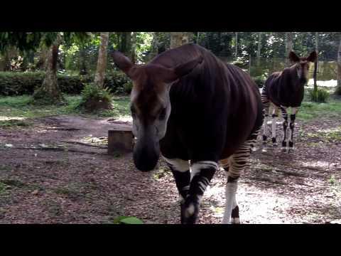 Okapi Encounter