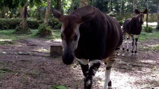 Okapi Encounter
