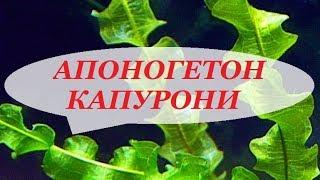 видео Апоногетон жестколистный