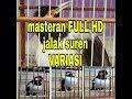 Masteran Jalak Suren Isian Jangkrik Ngekek(.mp3 .mp4) Mp3 - Mp4 Download