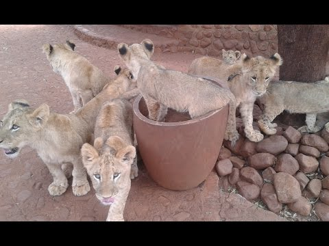 Farming lions in the name of Sport: Canned Hunting in South Africa