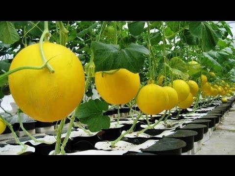 Cara Budidaya Melon Yang Benar Cara Menanam Melon Agar Berbuah Besar Youtube