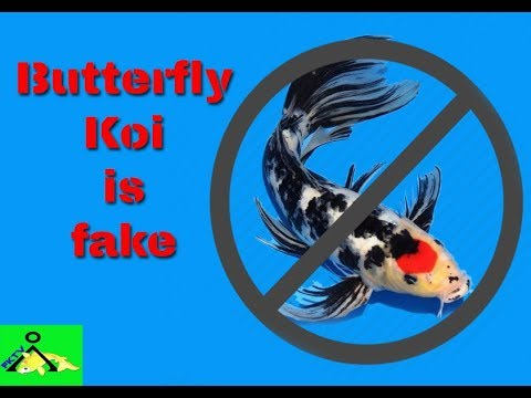 Butterfly Koi Is NOT A Real Koi!!!! | Vlog 10
