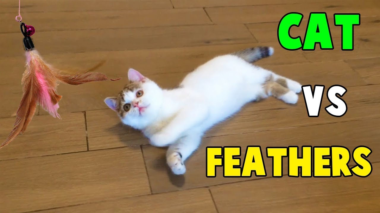 Cutest Cats, Funny Cats playing With Feathers Toys By Animals TV