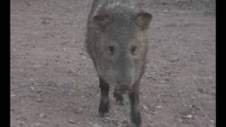 Baby Javalinas Peccaries of Sedona, Arizona