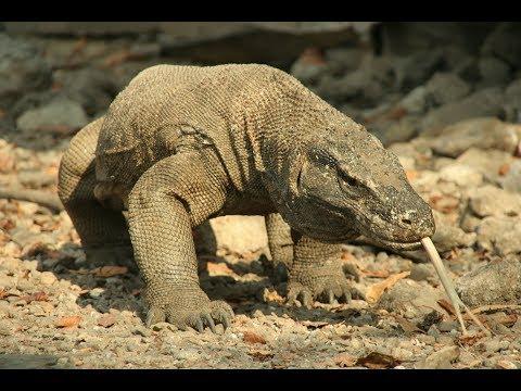 Вопрос: Какаая рептилия самая большая в мире?
