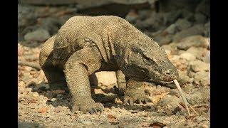 Супер Убийца - Комодский Варан(Самая большая ящерица в мире)