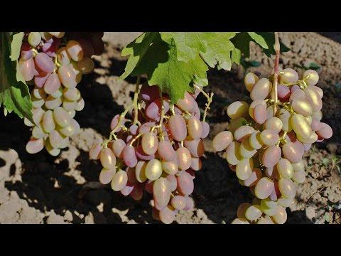 Отзыв-видео о винограде Юбилей Новочеркасска